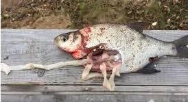 Опасен ли человеку рыбный лигулёз?