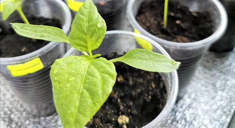 Выращивание рассади сладкого перца