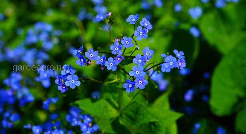 ТОП-8 лучших представителей двулетних растений для клумбы