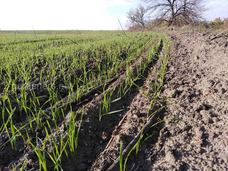 Почему происходит снижение урожайности пшеницы при позднем посеве?
