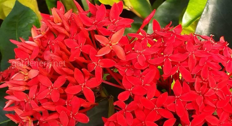 Иксора: сорта и виды вечнозеленого кустарника с огненными головками пышных цветов