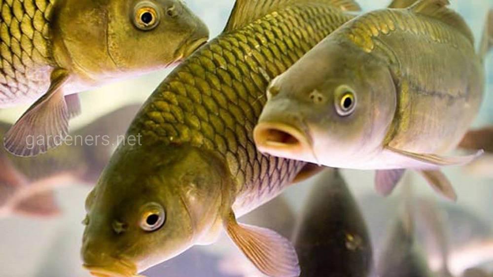 Рыба в озере