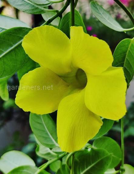 Топ-5 кімнатних рослин з квітами великого діаметра