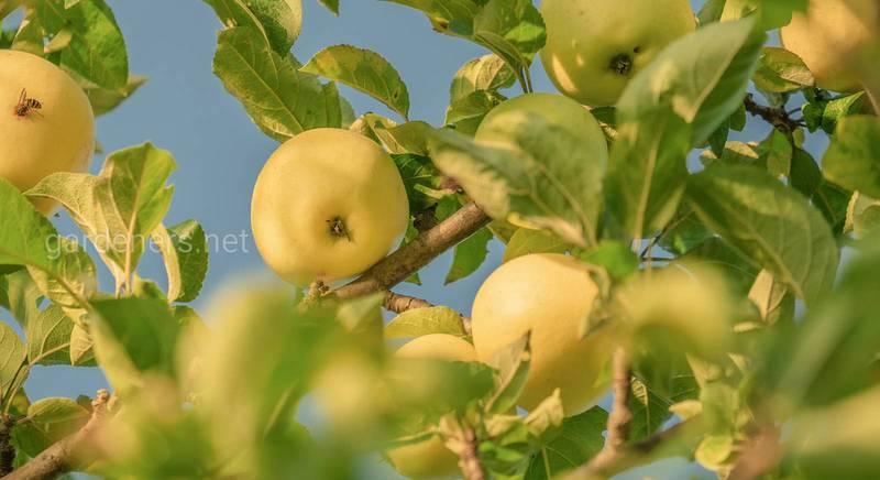 Список культур, які рекомендовано вирощувати під яблунею