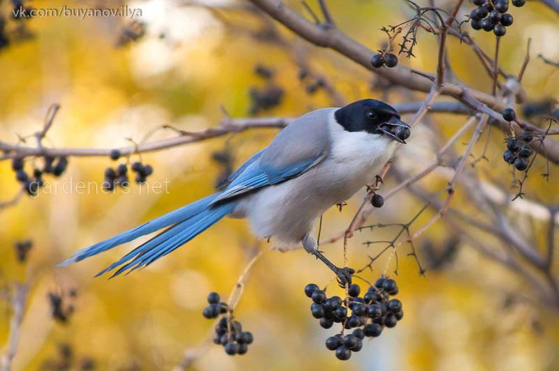 Птица Голубая сорока