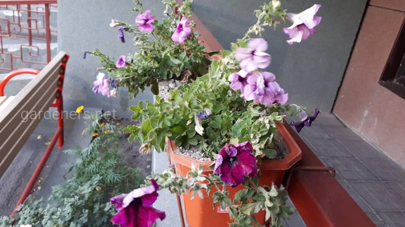 Як обрати ідеальні квіти для тераси або балкону?