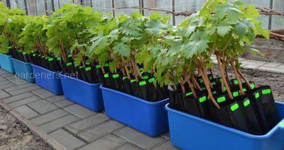 виробництва садивного матеріалу із закритою кореневою системою