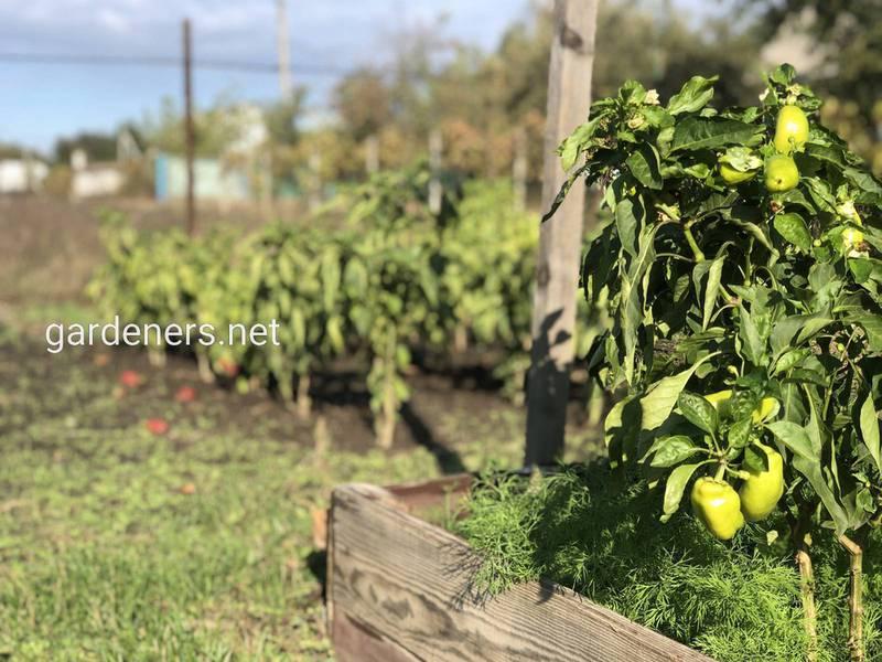 Підживлення томатів та перцю - співвідношення NPK в залежності від фенофази