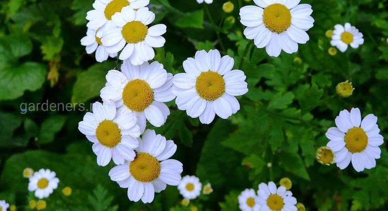 ТОП-6 табу для квітникаря: квіти, від посадки яких варто відмовитися