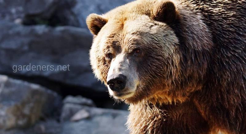 10 цікавих фактів про ведмедів