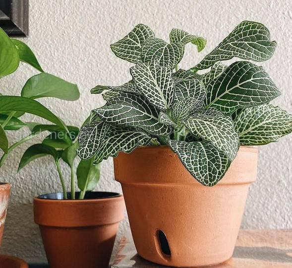 Fittonia Leather Leaf