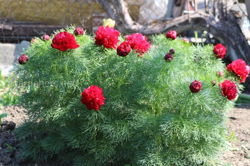 Півонія: особливості вирощування