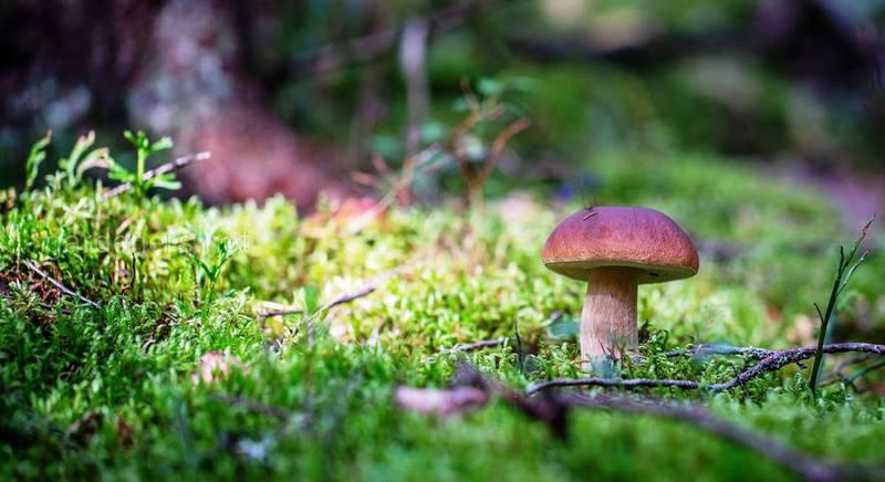 белый гриб для сада.jpg