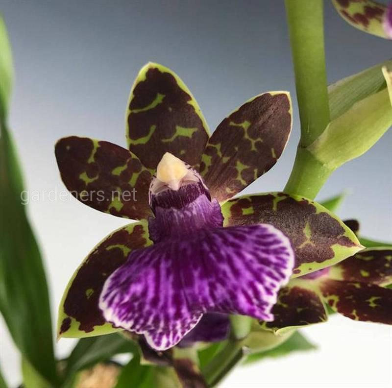 Какие условия необходимы для успешного выращивания земляной орхидеи?