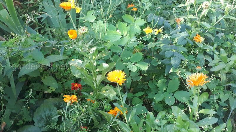 Календула: Посів, Збирання врожаю та сушіння
