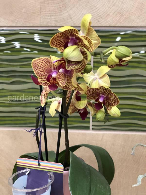 Основні правила догляду за орхідеєю феленопсис