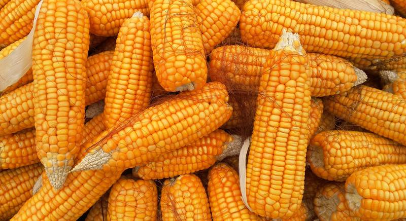 кукуруза.jpg