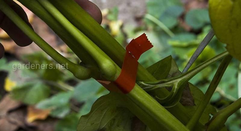Подвязка огородных культур