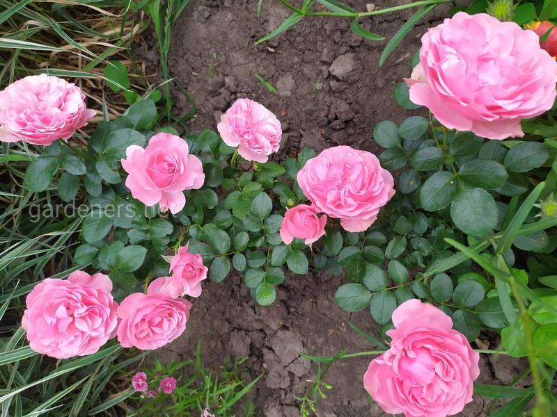 Як успішно посадити троянди?