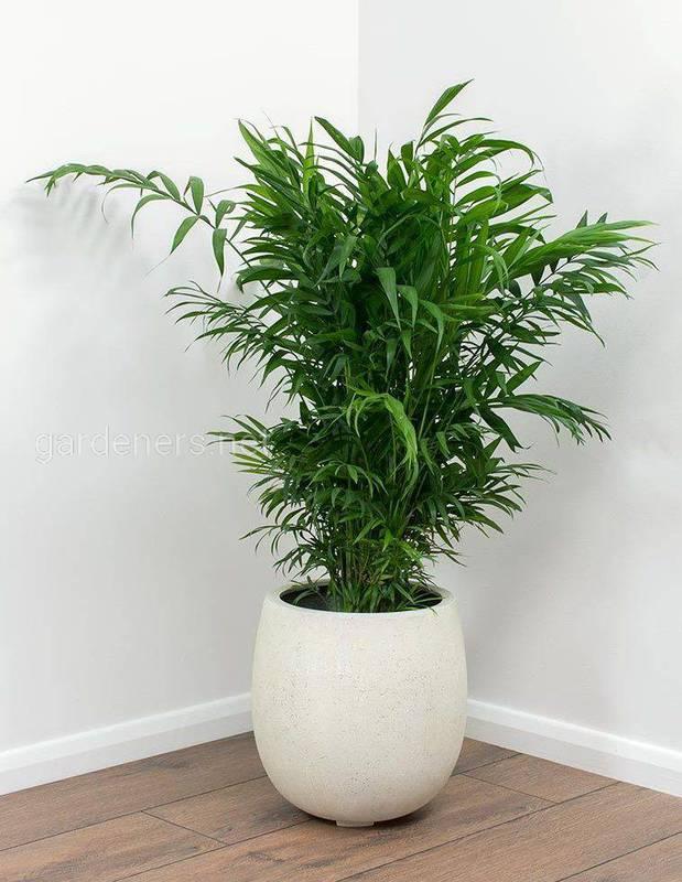 Выбираем пальму для гостиной: как успешно выращивать хамеропс и хамедорею?