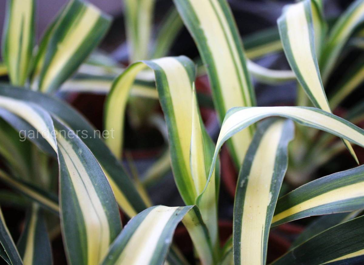 Yucca Gold Heart