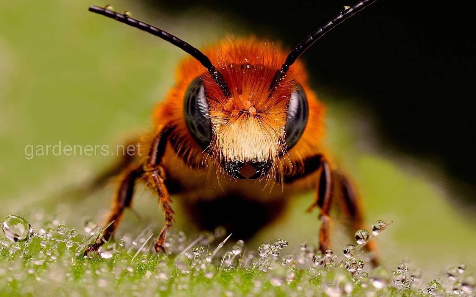 Пчела1.jpg
