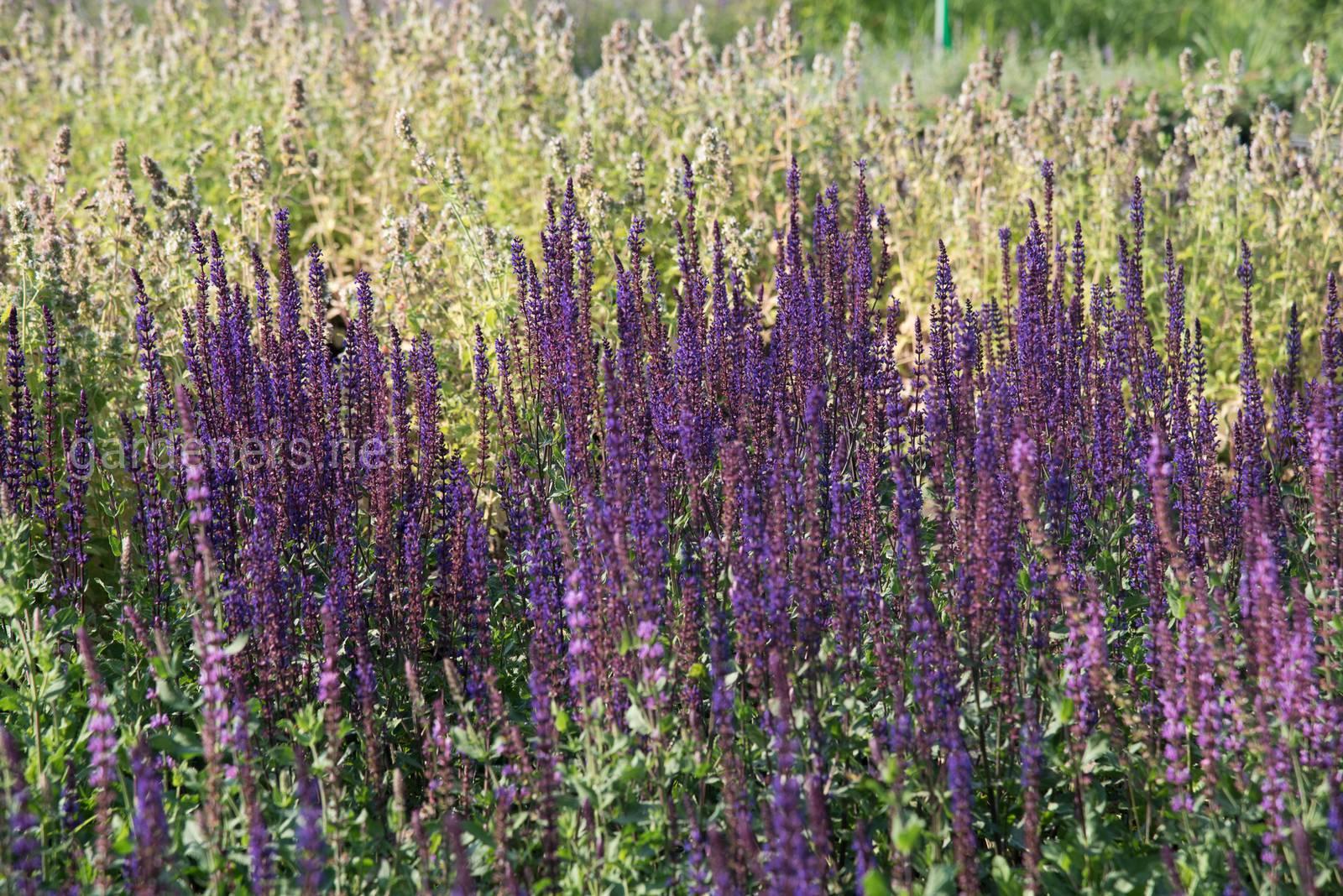 В питомнике Иващенко все растения выращиваются с закрытой корневой системой. .jpg
