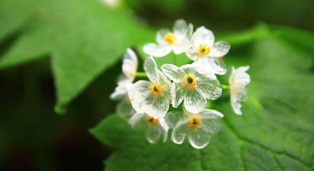 Цветок двулистник грея