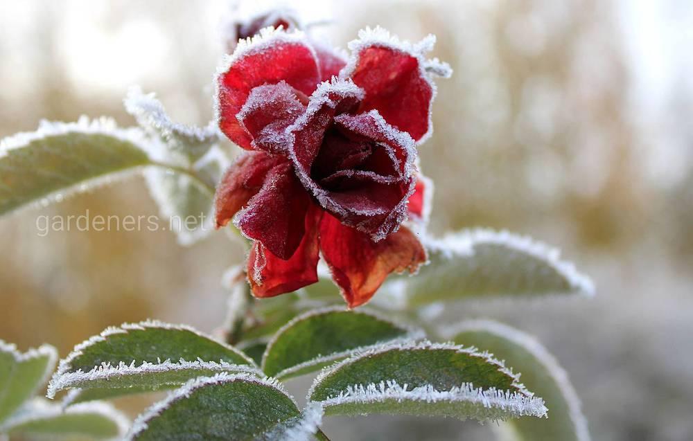 Какие цветущие растения боятся холодов