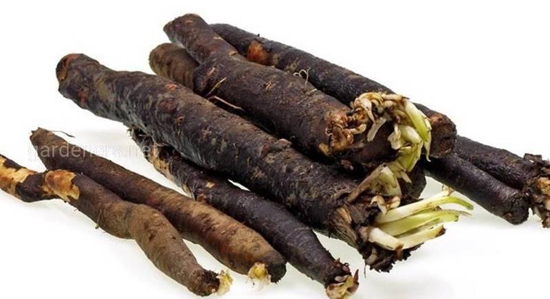 Скорцонера или черная морковь: полезные свойства и сферы использования