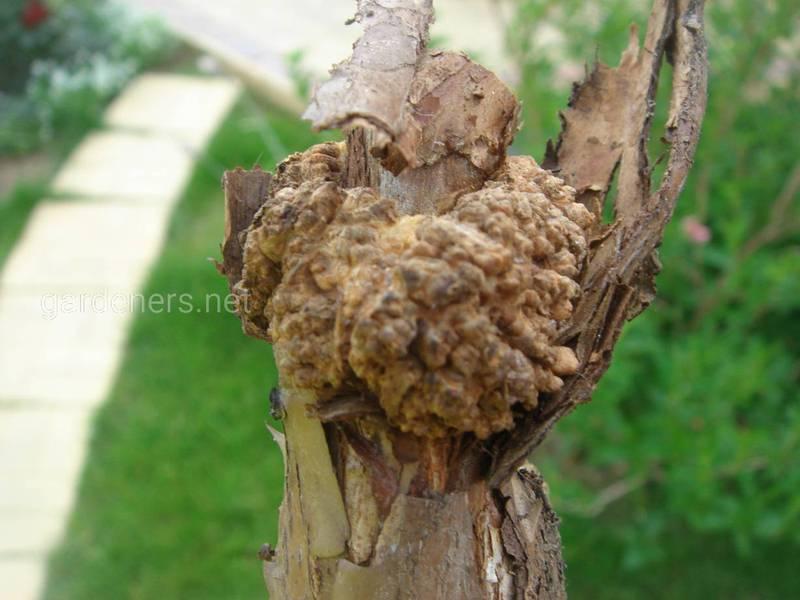 Почему возникают грибковые заболевания и какой вред они наносят плодовым деревьям?