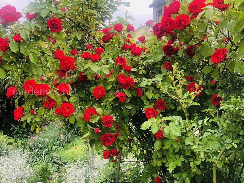 Як боротися зі шкідниками та хворобами плетистих троянд?