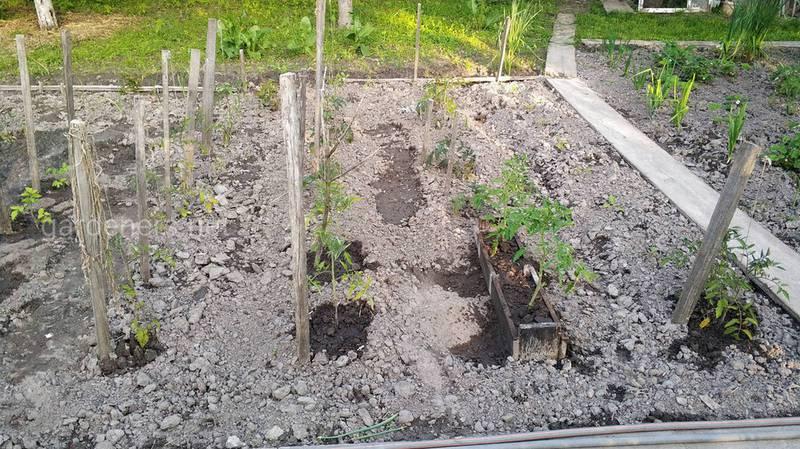 Як позбутися стресу при пересаджуванні розсади помідорів?