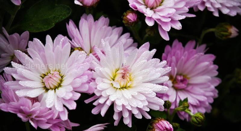 Місце хризантеми у флористиці: універсальність та символіка квітів, популярні кущові сорти для зрізу