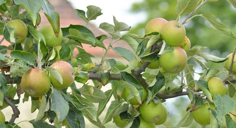 Виды крон яблонь: как правильно и красиво сформировать