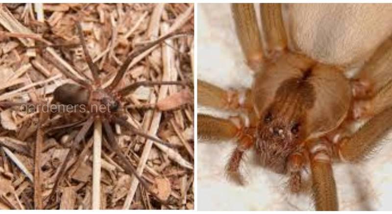 Коричневый паук отшельник - паук, обладающий ядом некротического действия