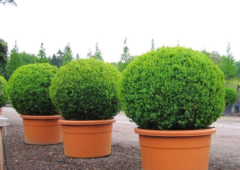Як доглядати за декоративними деревами та кущами після посадки?
