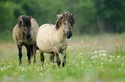 Лошадь Коник