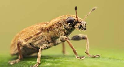 Долгоносик клубневый