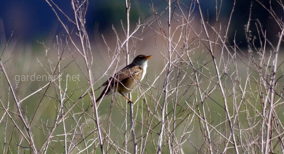 Птахи - співочі охоронці вашої ділянки!