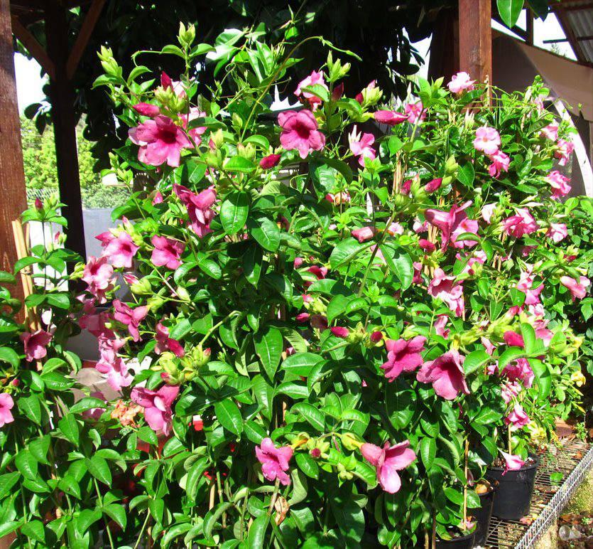 Алламандра розовая