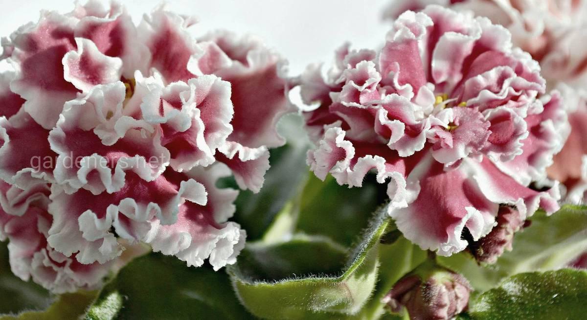Почему не цветут фиалки?
