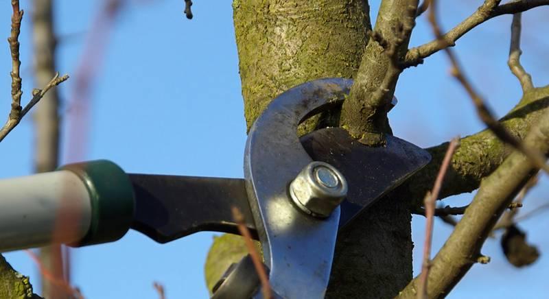 Ошибки при обрезке плодовых деревьев