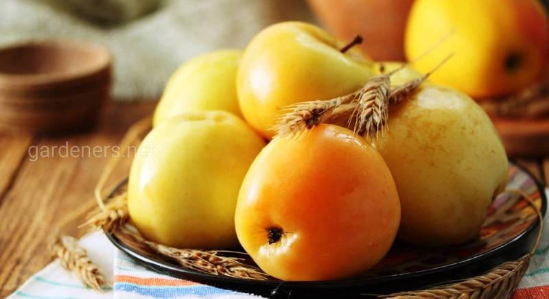 Сорта яблок для квашения и засолки.jpg