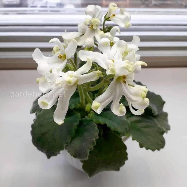 Які кімнатні рослини квітнуть взимку? Частина 1