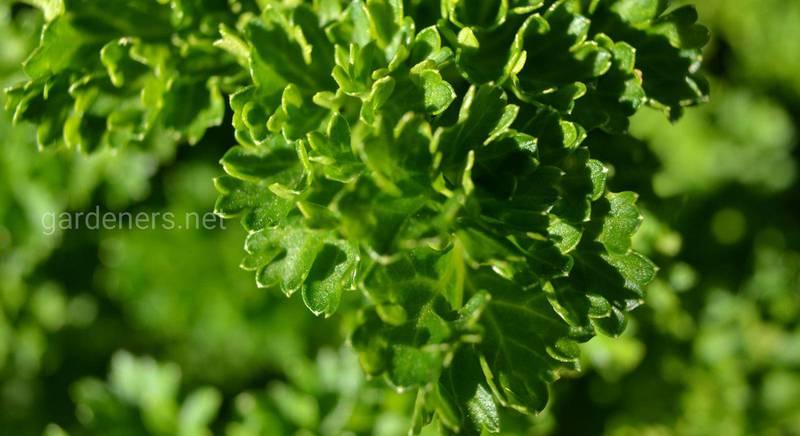 Как грамотно сочетать зелень в салатах и не только