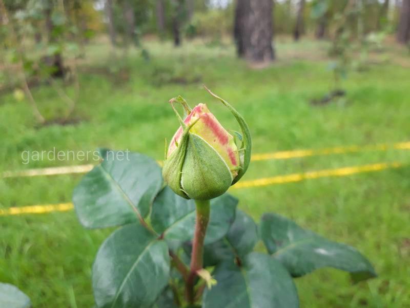 Шесть самых распространенных проблем с розами