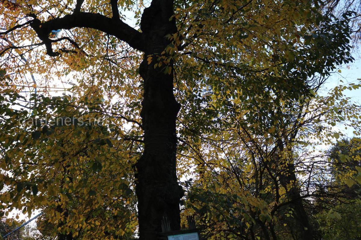 исторические и вековые деревья