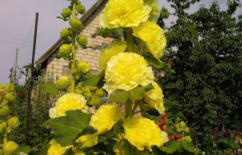 Шток-роза в саду