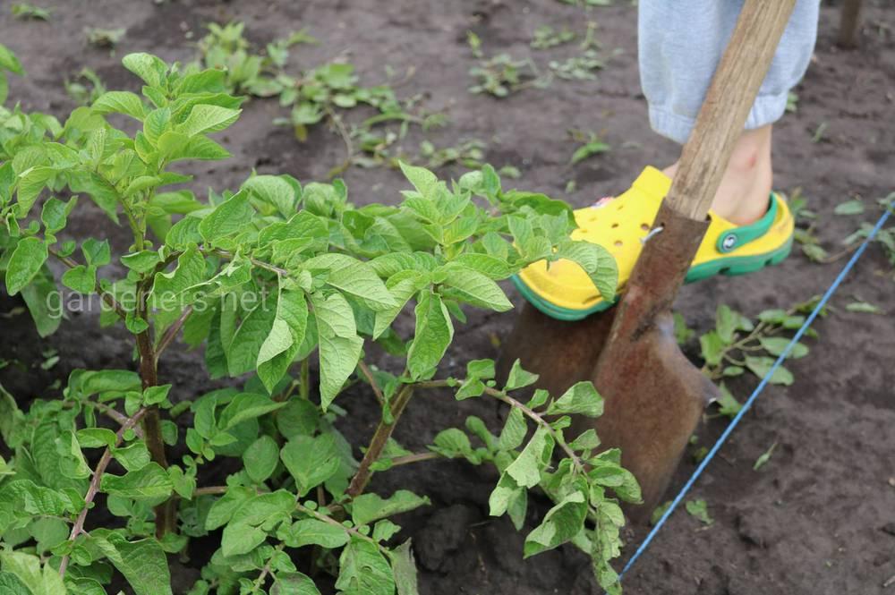 Прогнози щодо врожаю картоплі